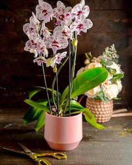 Vista lateral de flores de orquídeas phalaenopsis rosadas blancas y vívidas en plena floración en maceta rosa