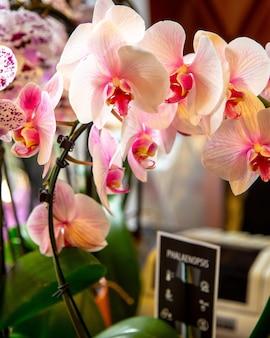 Vista lateral de flores de orquídeas phalaenopsis rosadas blancas y vívidas en plena floración