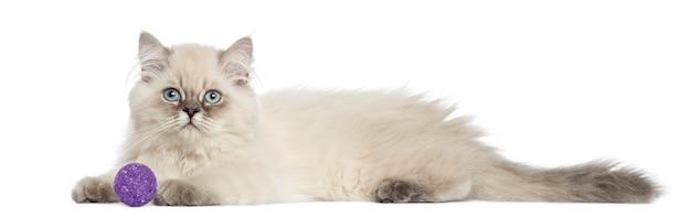 Vista lateral de un gatito de pelo largo británico acostado con bola aislado en blanco