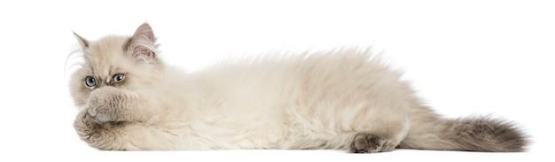 Vista lateral de un gatito de pelo largo británico acostado
