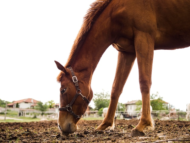 Vista lateral hermoso caballo comiendo desde el suelo