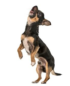 Vista lateral de un joven cachorro de chihuahua, perro mirando hacia arriba sobre las patas traseras