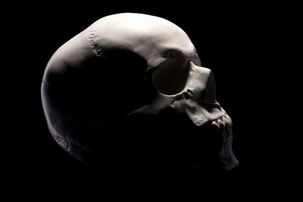 Vista lateral del modelo de yeso del cráneo humano