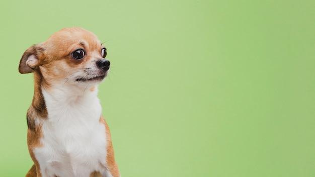 Vista lateral pequeño perro esperando espacio de copia