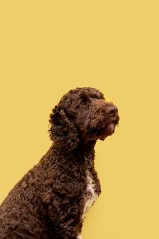 Vista lateral del perro caniche doméstico