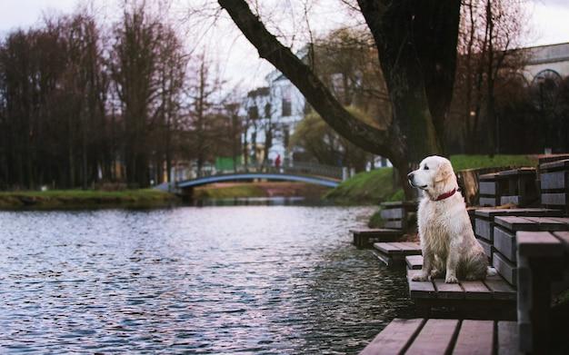 Vista lateral del perro de raza golden retriever, staning en un banco de madera junto a un lago
