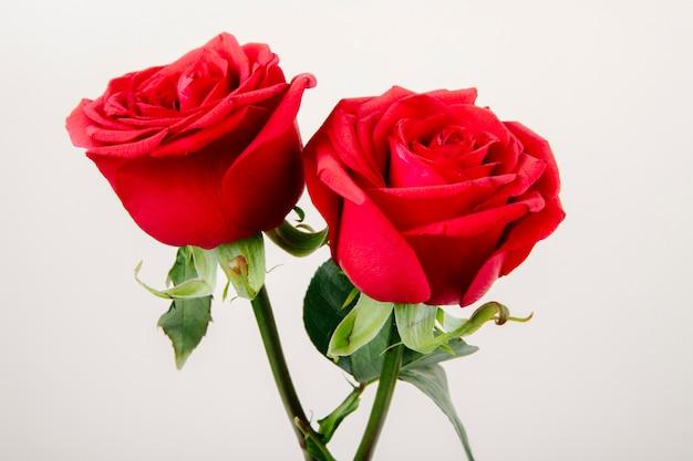 Vista lateral de rosas de color rojo aislado sobre fondo blanco.