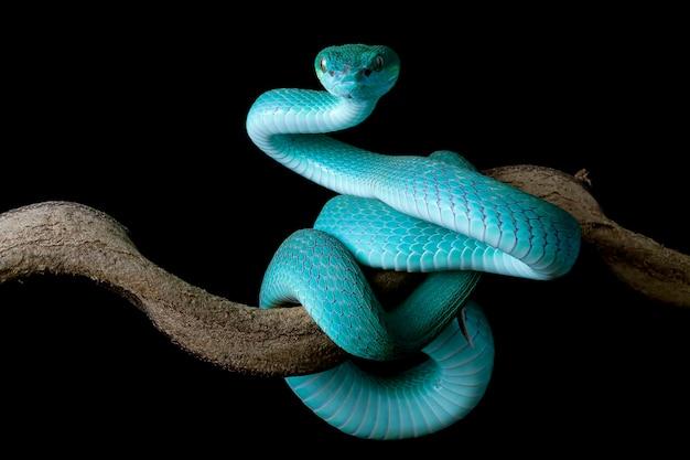 Vista lateral de la serpiente víbora azul en la rama con fondo negro serpiente víbora azul insularis trimeresuru