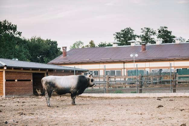 Vista lateral de un toro de pie en el granero