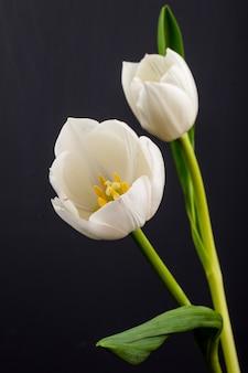 Vista lateral de tulipanes de color blanco aislado en mesa negra