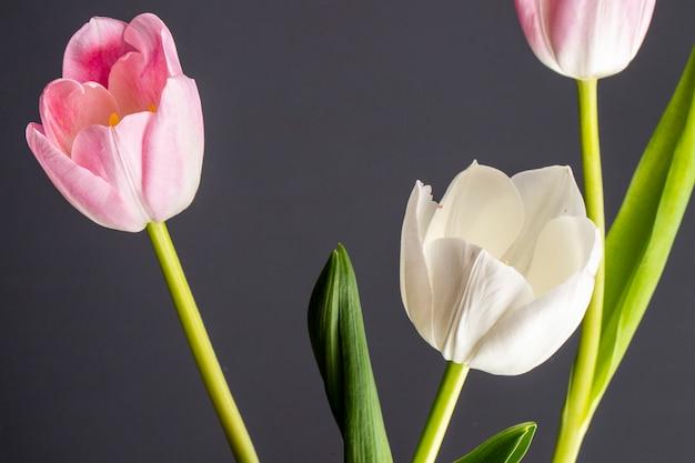 Vista lateral de tulipanes de color blanco y rosa aislado en la mesa negra