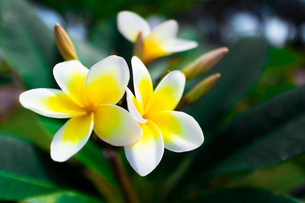 Vista macra del frangipani o plumeria exótico tropical hermoso hermoso blanco y amarillo de la flor fresca tropical parque admitido o jardín de asia, vietnam.