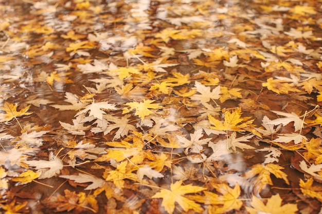 Vista macro de hojas de arce amarillas en el pudde