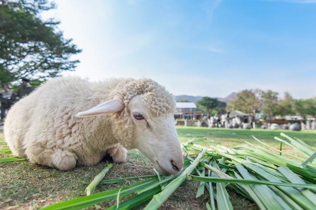 Vista de ojo de gusano de ovejas comiendo hierba con enfoque suave y fondo borroso
