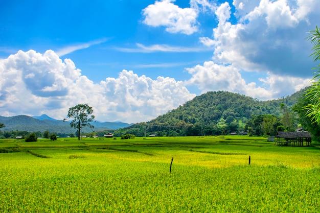 Vista del paisaje del campo de arroz verde
