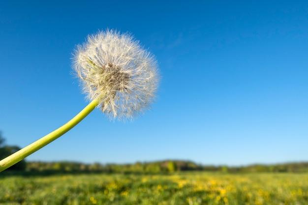 Vista panorámica de hierba fresca con flor de flor de diente de león en campo