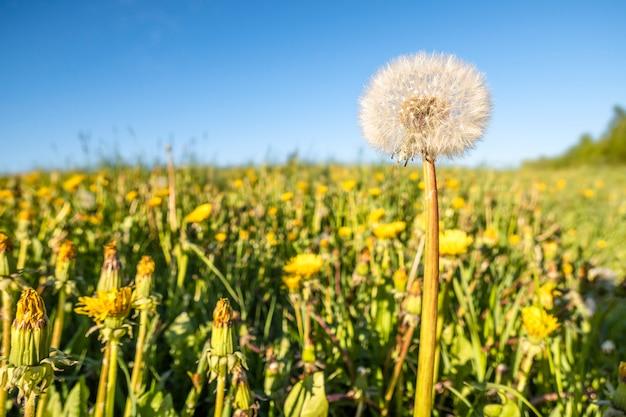 Vista panorámica de hierba verde fresca con cabeza de flor flor diente de león en campo