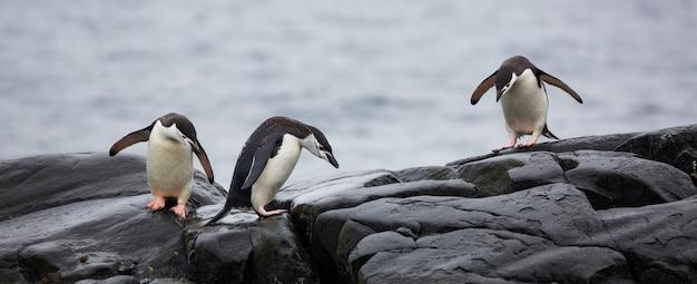 Vista panorámica de tres pingüinos sobre las piedras en la antártida