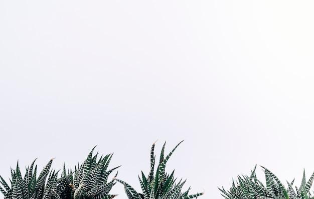 Vista de las pequeñas plantas de cactus cebra