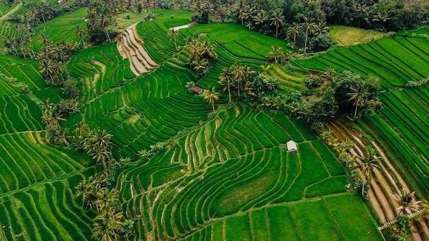 Vista perfecta de los campos de arroz de la isla de bali, indonesia.