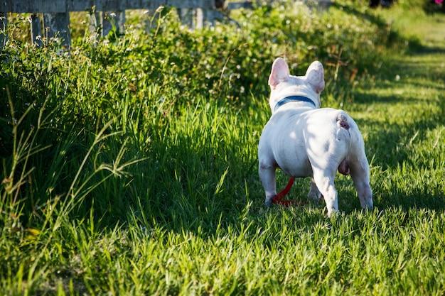 Vista posterior del dogo francés que camina en hierba. feliz retrato de perro