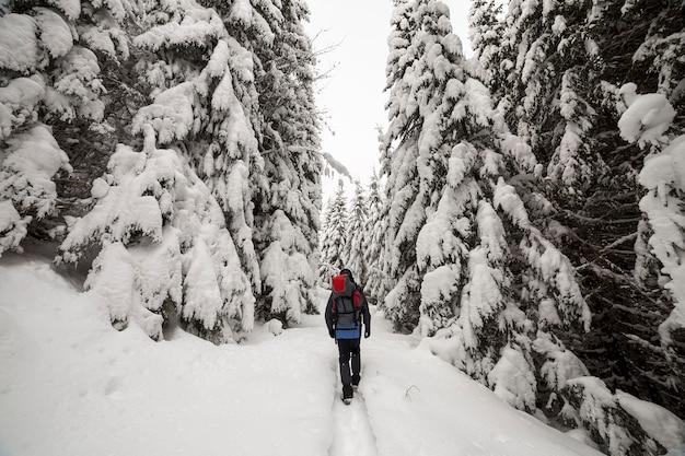 Vista posterior del excursionista turístico con mochila caminando en nieve blanca limpia profunda en día de invierno helado brillante en bosque de montaña con alto abeto verde oscuro.