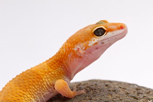 Una vista recortada de un gecko leopardo manchado amarillo y naranja sobre blanco