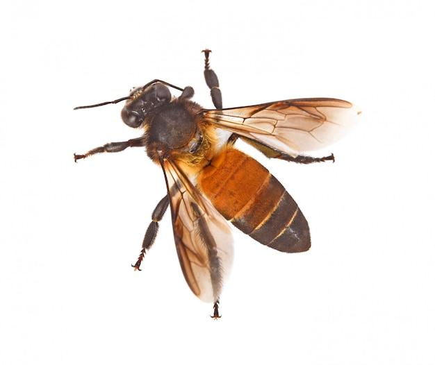 Vista superior de la abeja aislada sobre fondo blanco
