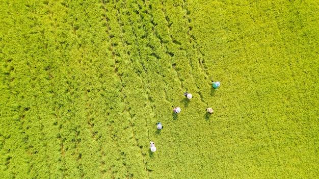 Vista superior aérea del granjero trabajando en los campos de arroz.
