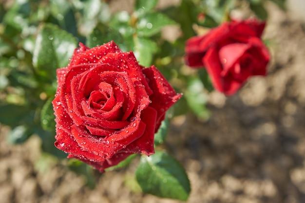 Vista superior del arbusto color de rosa rojo floreciente hermoso en el jardín. pétalos con gotas de lluvia brillando en el sol
