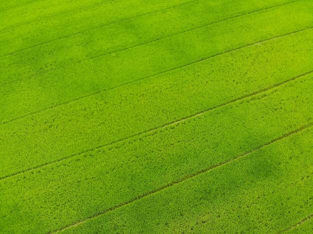 Vista superior del campo verde del arroz, agricultura crecimiento de la granja asiática hermosa textura en el campo