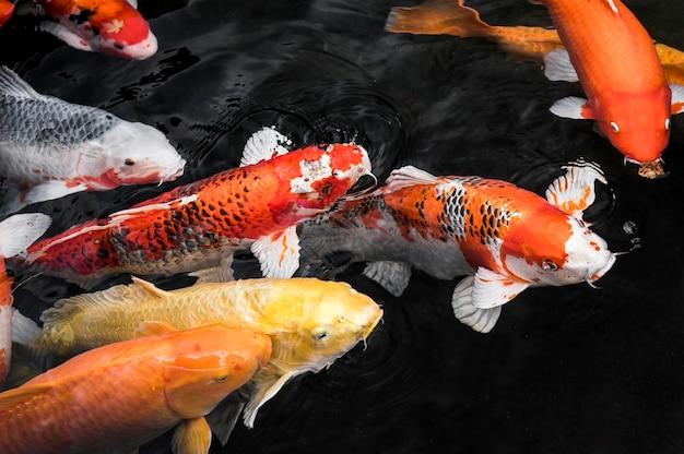 Vista superior de coloridos peces koi