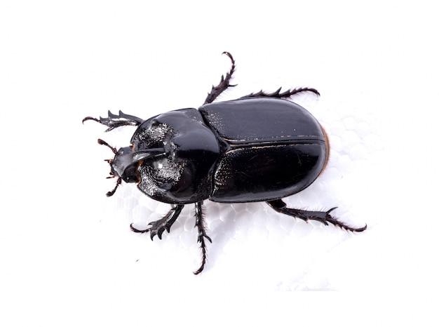 Vista superior de escarabajo negro sobre fondo blanco