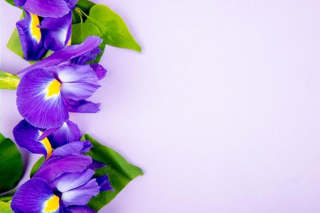 Vista superior de flores de iris de color púrpura oscuro aisladas sobre fondo blanco con espacio de copia