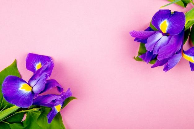 Vista superior de flores de iris de color púrpura oscuro aislado sobre fondo rosa con espacio de copia