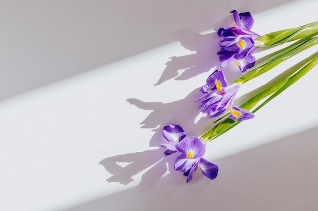 Vista superior de flores de iris morado aislado sobre fondo blanco con espacio de copia