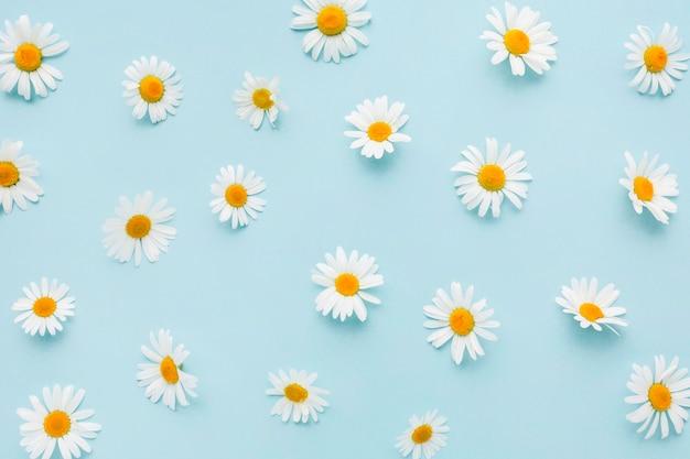Vista superior de flores de margarita