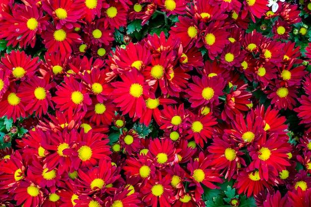 Vista superior de flores rojas de floristería mun en campo de flores