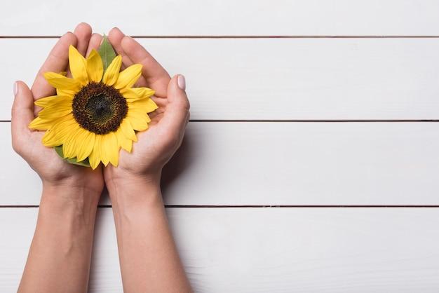 Vista superior de girasol amarillo en manos ahuecadas contra el telón de fondo de madera