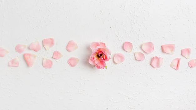 Vista superior de la hermosa rosa de primavera con pétalos