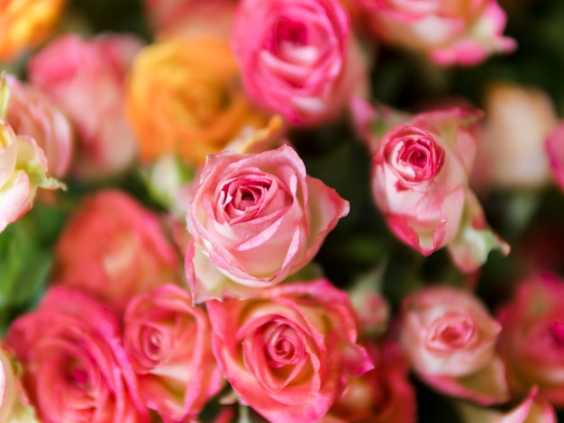 Vista superior de hermosas rosas rosadas