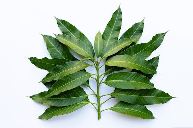 Vista superior de hojas de mango en blanco.