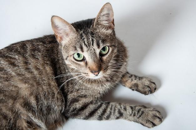 Vista superior de un lindo gato atigrado doméstico acostado sobre una superficie blanca y mirando con curiosidad