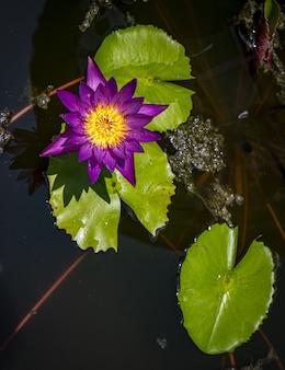 Vista superior de lirio de agua púrpura