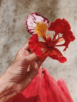 Vista superior de la mano femenina que sostiene la flor roja hermosa exótica