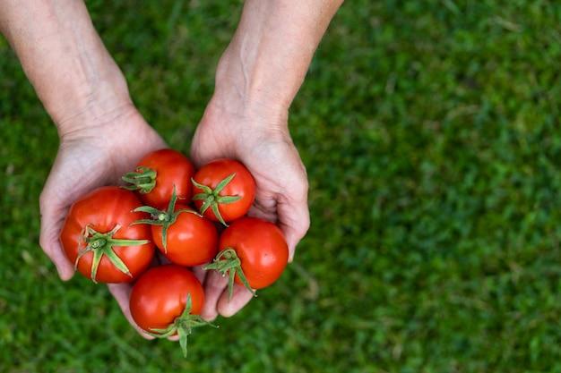 Vista superior de las manos de los agricultores de la mujer sosteniendo tomates recién cosechados sobre la hierba verde