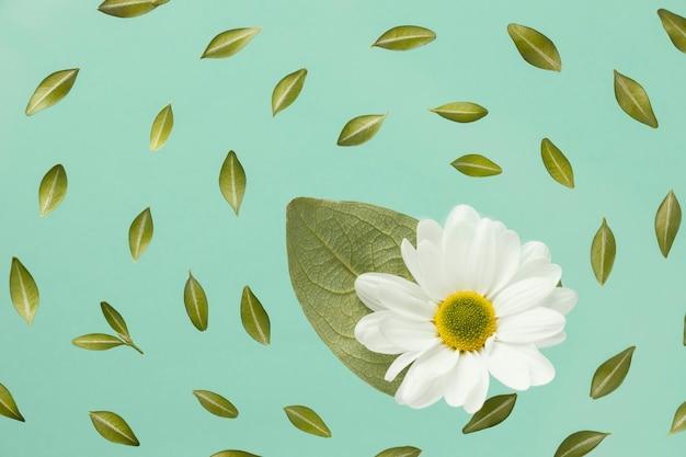 Vista superior de la margarita de primavera con hojas