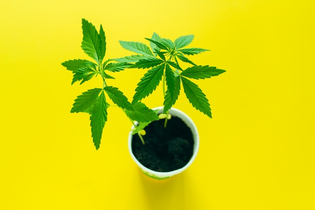 Vista superior de la marihuana en una olla aislada en amarillo