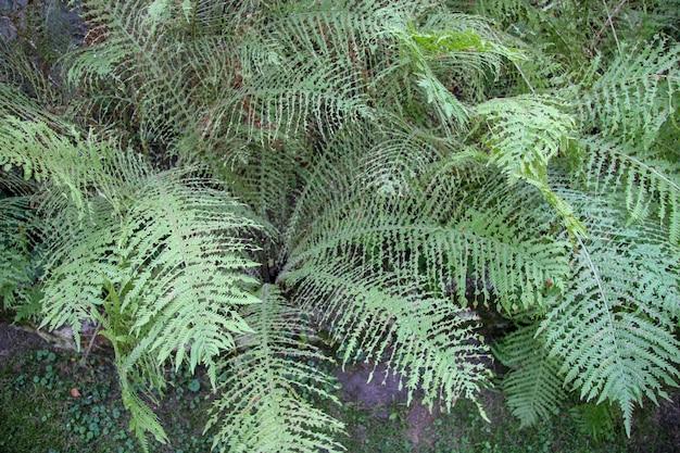 Vista superior de un matorral de helechos verdes con hojas extrañas. parece que fueron mordidos. los colores son moderados.