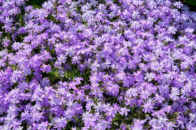 Vista superior de pequeñas flores florecientes violetas. campo de verano en flor